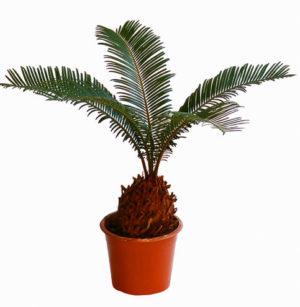 Sagvo Palm
